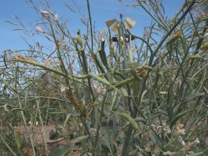 Broccoli seed pods