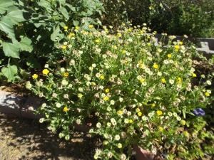 Calendulas (flower garden)