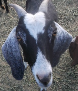 Mother Nubian Goat