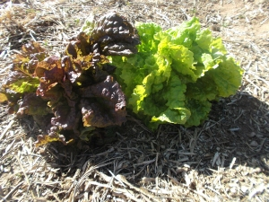Loose-leaf lettuce