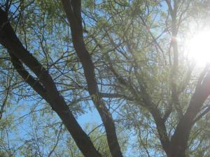 Mesquite in the sun