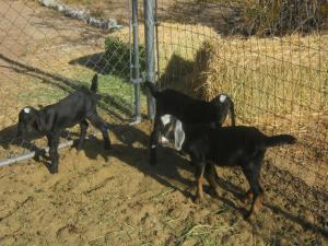 Baby Nubian Goats 1